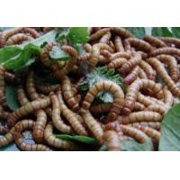 China Dried Mealworms factory