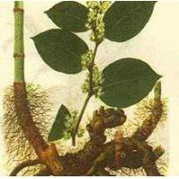 Quality Leading Products Giant Knotweed Extra wholesale