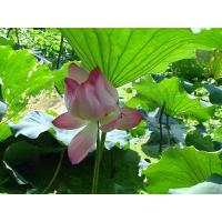 Buy cheap Vitamin Lotus Leaf Extract from Wholesalers