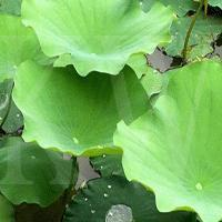 Buy cheap Lotus Leaf P.e from Wholesalers