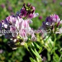 Buy cheap Alfalfa Extract,Medicago Sativa,Extract Ratio 5:1 from Wholesalers