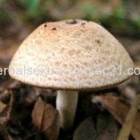 Buy cheap Agaricus Blazei Mushroom Extract,Polysaccharide 40% UV from Wholesalers