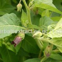 Buy cheap Belladonna Extract,Atropa Belladonna,Belladonna P.E. from Wholesalers