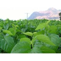 Buy cheap Mulberry Leaf P.E. from Wholesalers