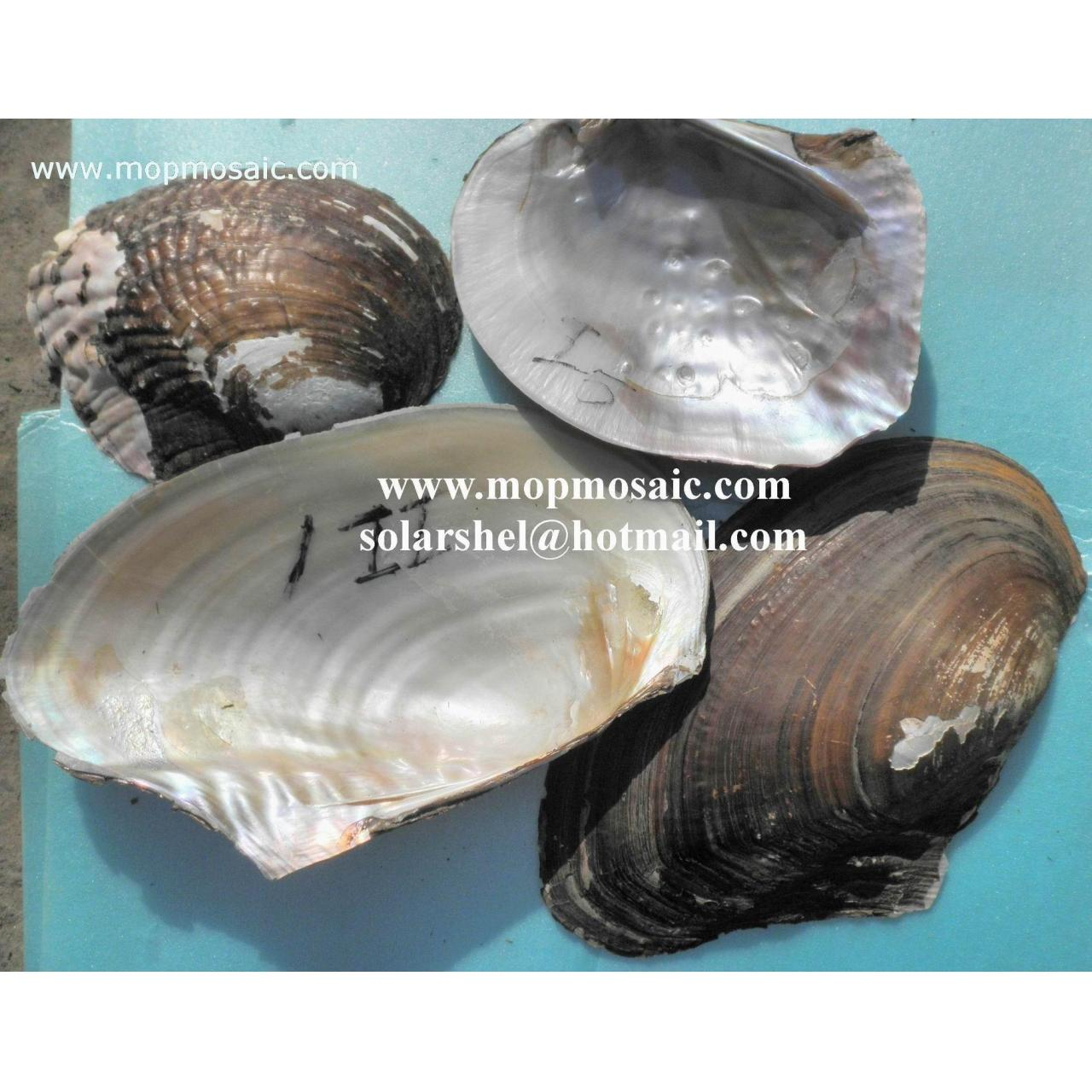 Buy cheap River Shell,Triangle Shell from Wholesalers