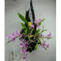 Buy cheap CLAY FLOWERS ORCHID(Dendrobium parishii) 2 from Wholesalers