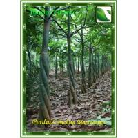 Buy cheap Pachira Macrocarpa from Wholesalers