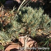 Quality Eureka Singleleaf Pinyon wholesale
