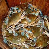 Buy cheap MD Blue Crabs from Wholesalers
