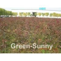 Buy cheap Cotinus coggygria 'Royal Purple' from Wholesalers