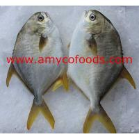 Buy cheap Golden Pompano from Wholesalers