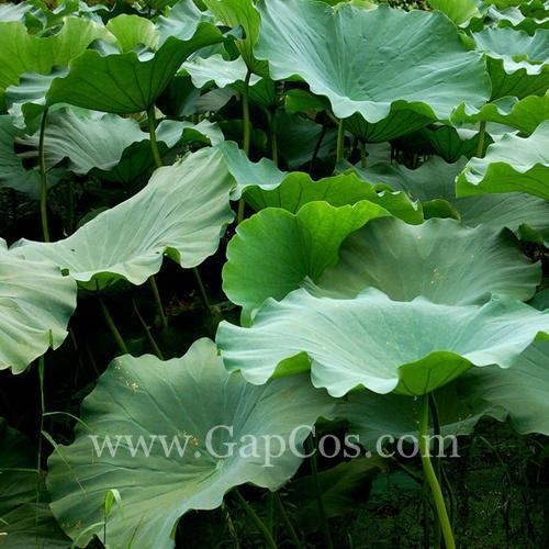 Quality Lotus Leaf Extract for sale