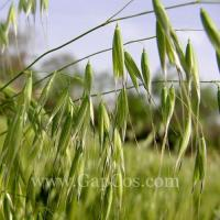 Buy cheap Oat Straw Extract from Wholesalers