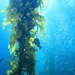 Buy cheap Seaweed Extract from Wholesalers