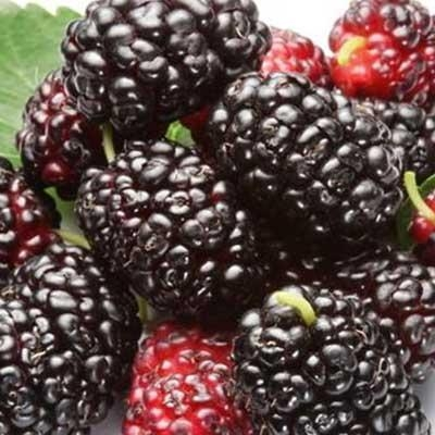 Quality hight quality mulberry freeze-dried powder for sale