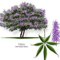 Quality Chasteberry extract Vitexin 5% wholesale
