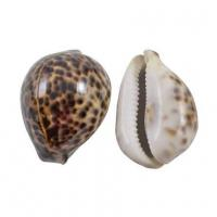 """Tiger Cowrie Shell - 2"""""""