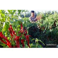 Buy cheap Chillis Dried Red Hot Chilli from Wholesalers