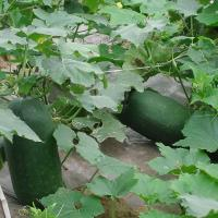 Buy cheap Vegetables Wax gourd ID: B5-04 from Wholesalers
