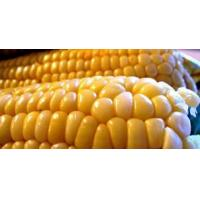 Buy cheap Maize / Corn from Wholesalers