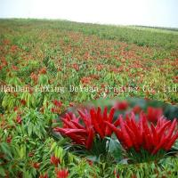 Buy cheap DRIED RED CHILLI IN CHINA from Wholesalers
