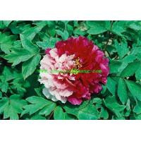 Buy cheap Chinese herbaceous peony Butterfly from wholesalers