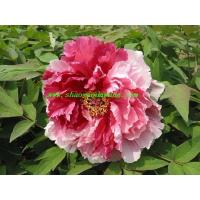 Buy cheap Chinese herbaceous peony Hua Erqiao from wholesalers