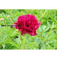 Buy cheap Chinese herbaceous peony Hong Fengyu from wholesalers