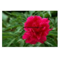 Buy cheap Chinese herbaceous peony from wholesalers