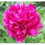 Buy cheap Chinese herbaceous peony Purple Xia ligand from wholesalers