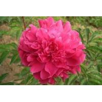Buy cheap Chinese herbaceous peony Cao Zhouhong from wholesalers