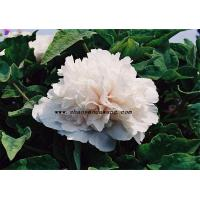 Buy cheap Chinese herbaceous peony The snow white tower from wholesalers