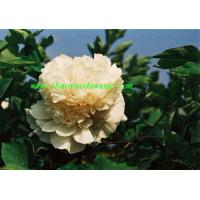 Buy cheap Chinese herbaceous peony Yao Huang from wholesalers