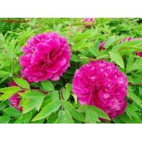 Buy cheap Rose Purple from wholesalers