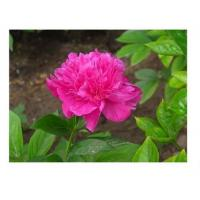 Buy cheap Chinese herbaceous peony Zi Fengyu from wholesalers